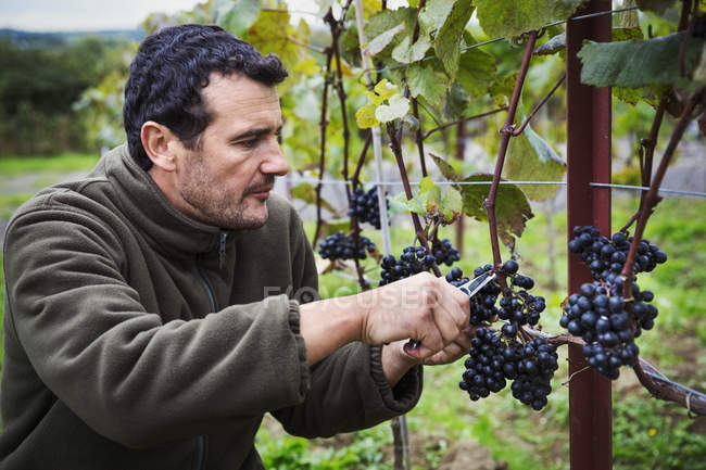 Person picking grapes — Stock Photo