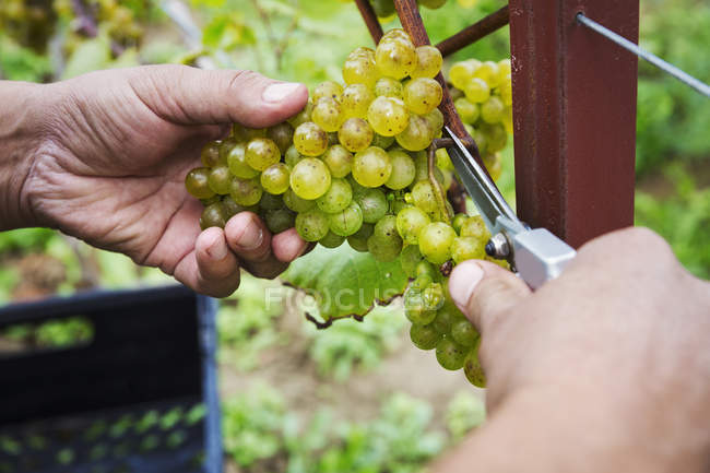 Person picking bunches of grapes — Stock Photo