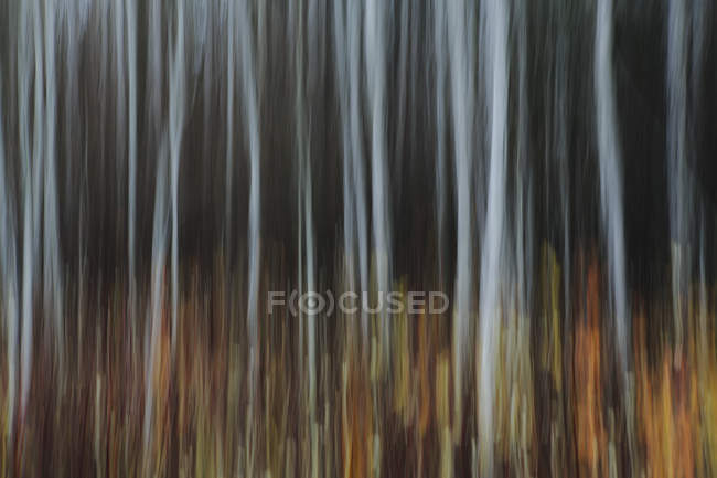 Aspen forest in autumn — Stock Photo