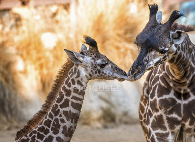 Пара жирафы нос к носу — стоковое фото
