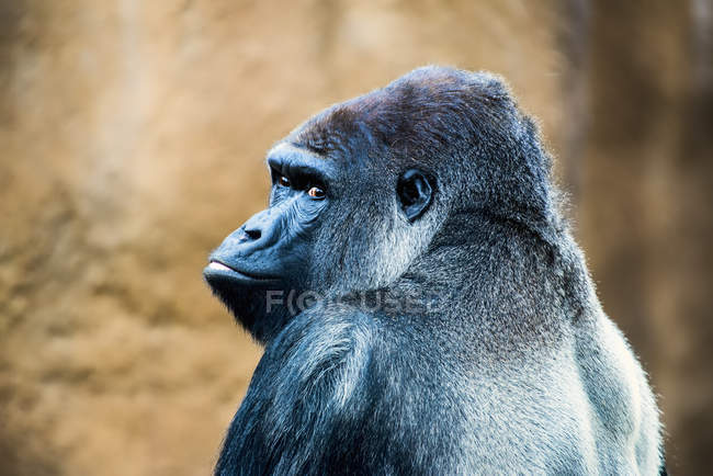 Gorila sentado al aire libre - foto de stock