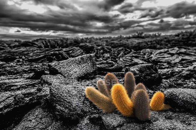 Кактус растения, растущие в лавовых полях — стоковое фото