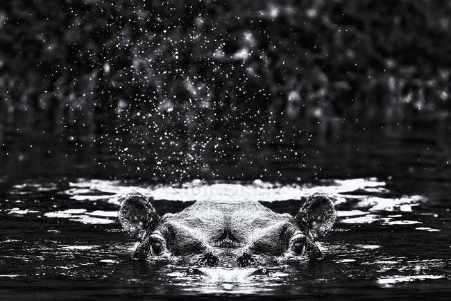 Cabeça de hipopótamo e orelhas acima da água — Fotografia de Stock