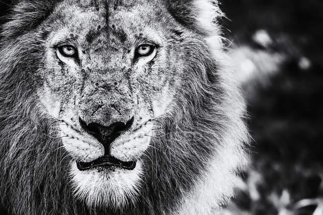 Portrait of male lion — Stock Photo