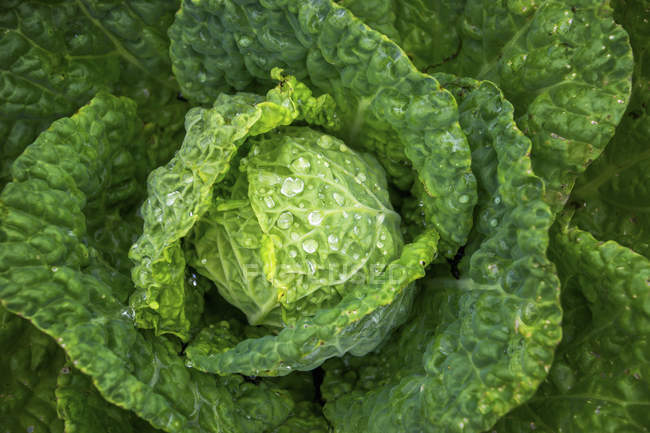 Fresh lettuce with drops water — Stock Photo
