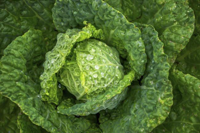 Свіжий салат з краплі води — стокове фото