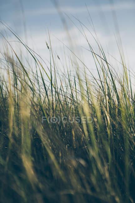 Herbes marines balayées par le vent — Photo de stock