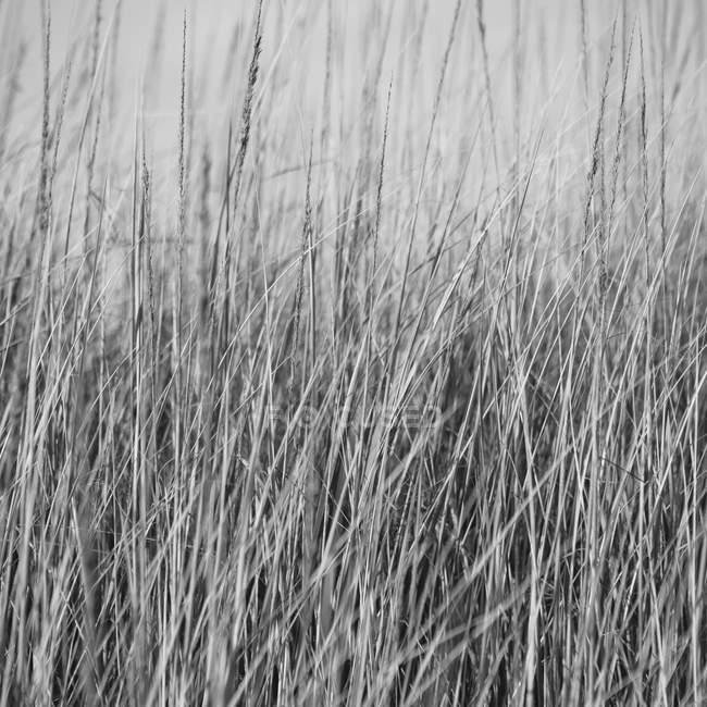 Herbe marine balayée par le vent — Photo de stock