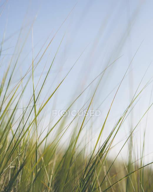 Windgepeitschtes Seegras — Stockfoto