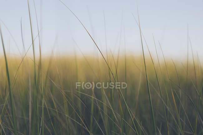 Windswept sea grass — Stock Photo