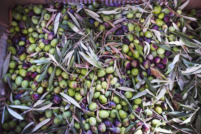 Aceitunas verdes cogidas frescas - foto de stock