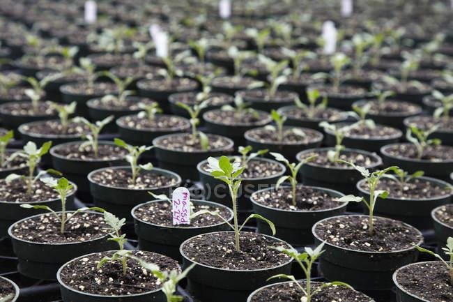 Setzling Pflanzen in Töpfen — Stockfoto