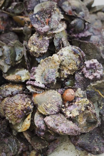 Haufen von Austernschalen — Stockfoto