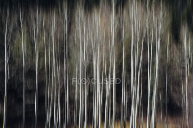 Aspen trees with pale tree trunks — Stock Photo