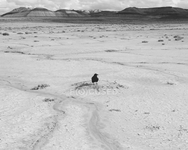 Ворон на сухом песке — стоковое фото