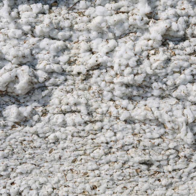 Chiuda in su del cotone raccolto — Foto stock