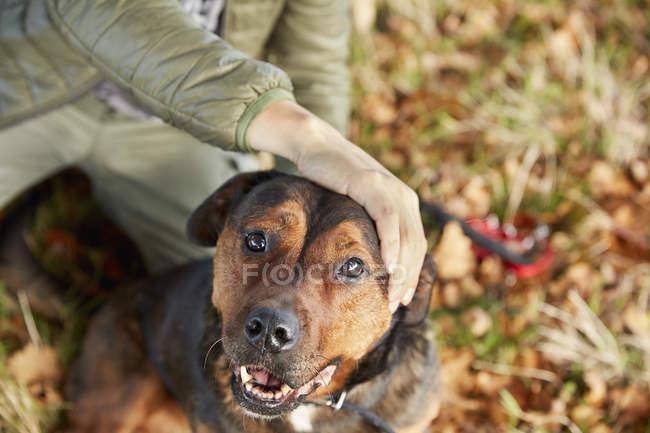 Выгульщик собак с рукой на голове собаки — стоковое фото