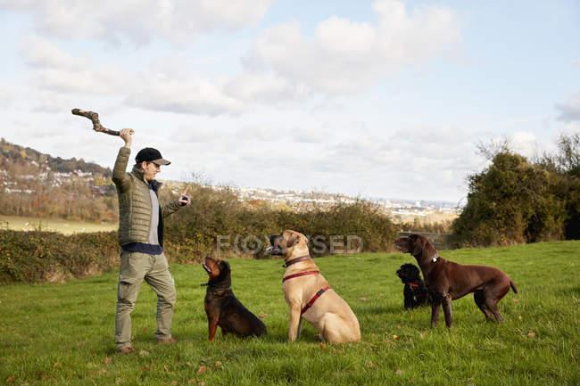 Собака ходок з собаками — стокове фото
