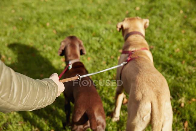 Passeggiatore cane con due cani — Foto stock