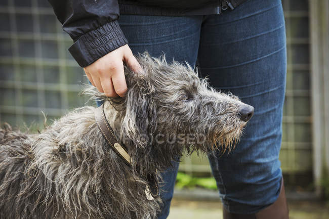 Scottish Deerhound standing next to person — Stock Photo