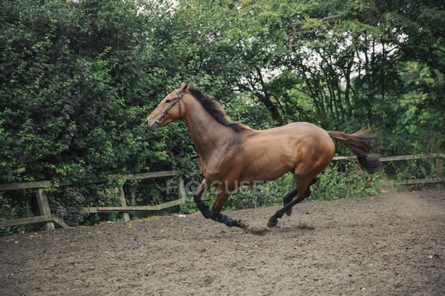 Bucht Vollblut-Rennpferd im Fahrerlager — Stockfoto