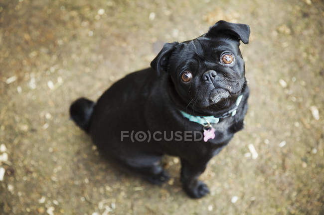 Small black pug looking up — Stock Photo