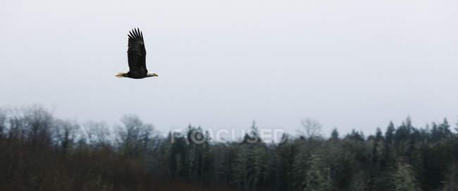 Águila volando sobre el bosque - foto de stock