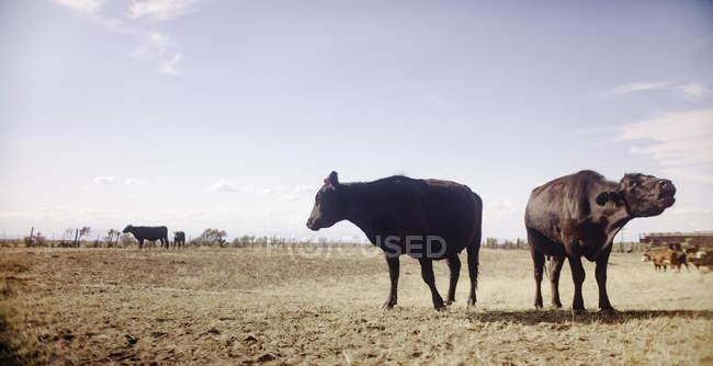 Vaches en garrigue rural — Photo de stock