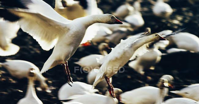 Flock of snow geese landing — Stock Photo