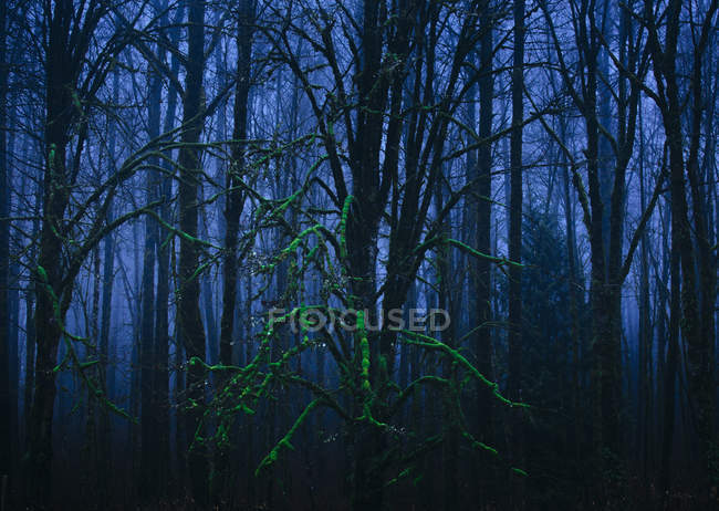 Moss-covered trees in forest — Stock Photo