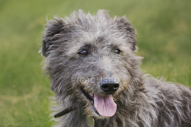 Scottish Deerhound im Feld sitzen. — Stockfoto