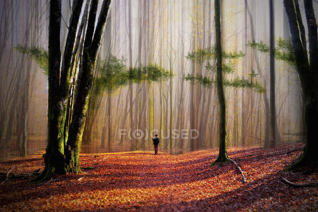 Man walking in woodland of tall trees — Stock Photo