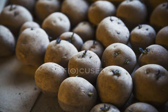 Nahaufnahme von Keimen Kartoffeln. — Stockfoto