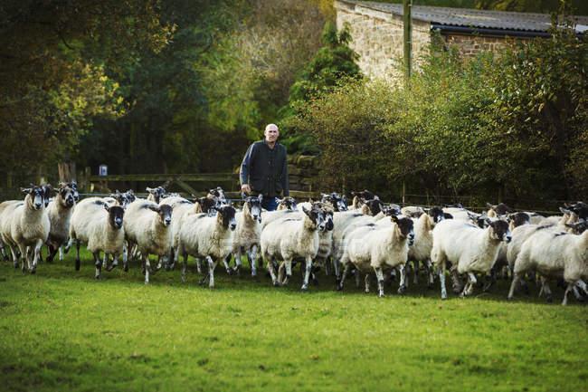 Sheep farmer on meadow — Stock Photo