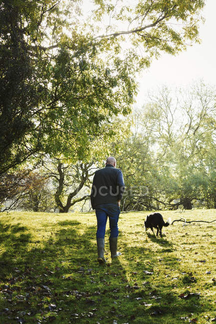 Ходіння по лузі вівчарка — стокове фото
