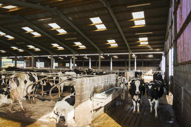 Mucche in un granaio in inverno — Foto stock