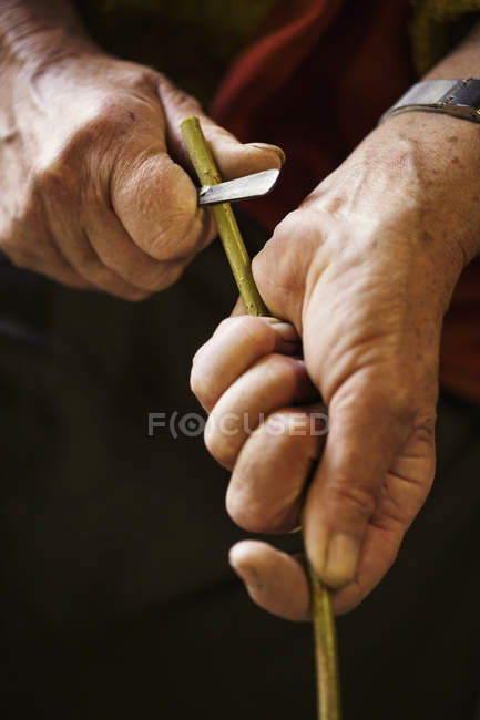Woman cutting piece of willow — Stock Photo