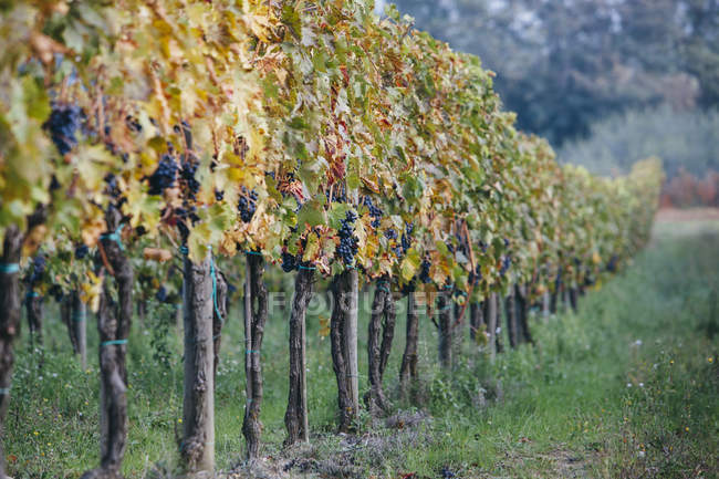 Grapes on vines in vineyard — Stock Photo
