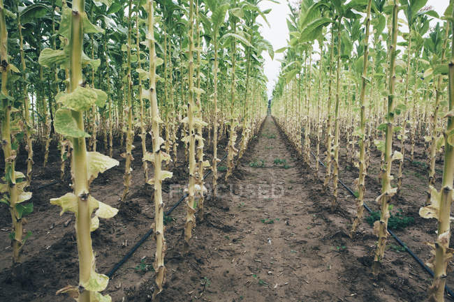 Field tobacco planted in straight rows — Stock Photo