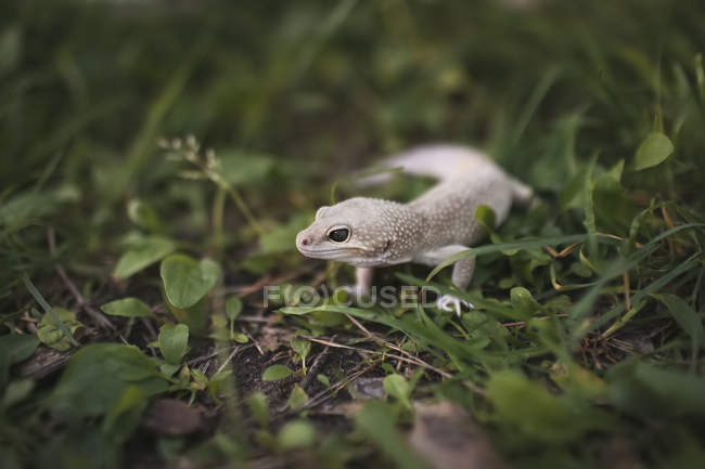 White lizard sitting in grass. — Stock Photo