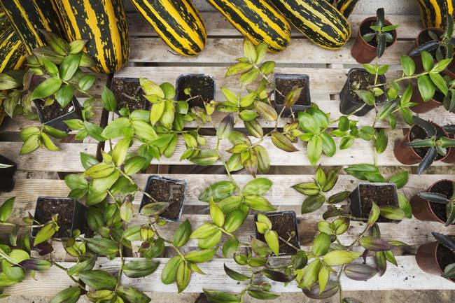 Vasos para plantas com mudas — Fotografia de Stock