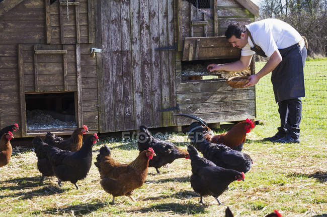 Man collecting the eggs — Stock Photo