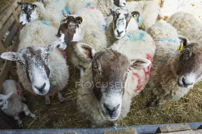 Flock of sheep in a stable — Stock Photo