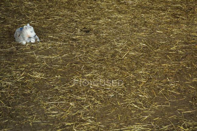 Cordeiro recém-nascido, deitado na palha — Fotografia de Stock