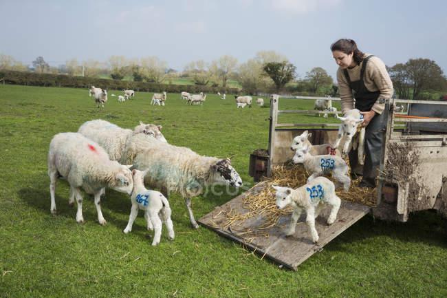 Mulher em um pasto, descarga de ovelhas — Fotografia de Stock