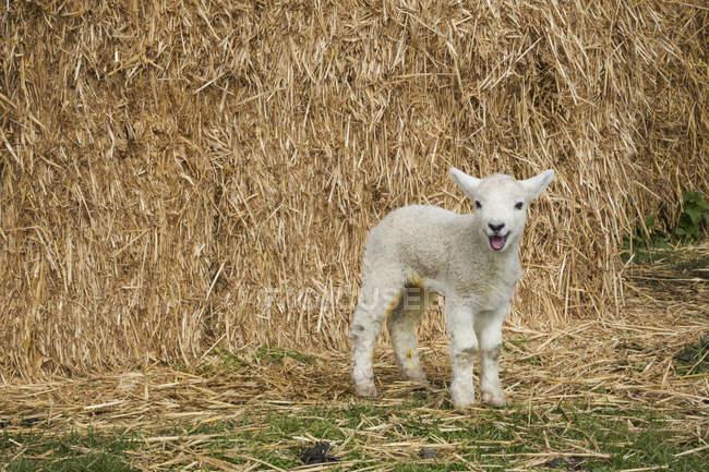 Cordeiro recém-nascido em pé ao ar livre — Fotografia de Stock