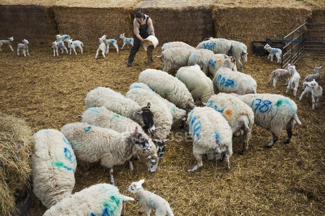 Rebanho de ovelhas e cordeiros recém-nascidos — Fotografia de Stock