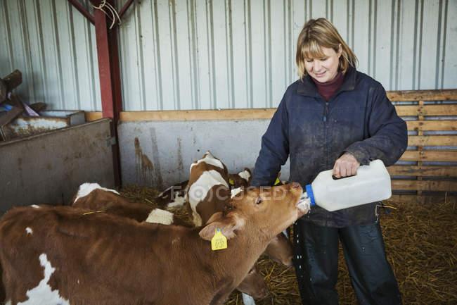 Garrafa de mulher alimentar bezerros. — Fotografia de Stock