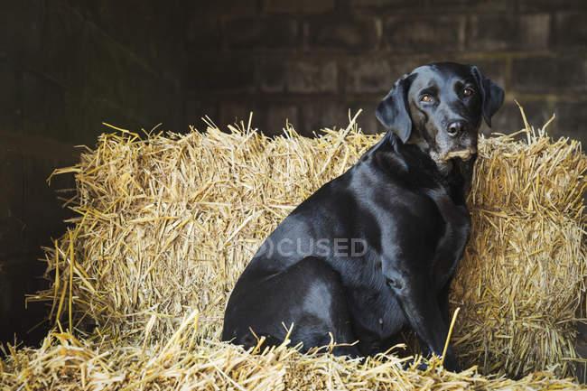 Cão labrador preto — Fotografia de Stock