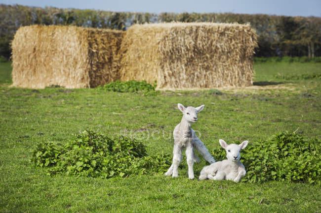 Dois cordeiros recém-nascidos — Fotografia de Stock